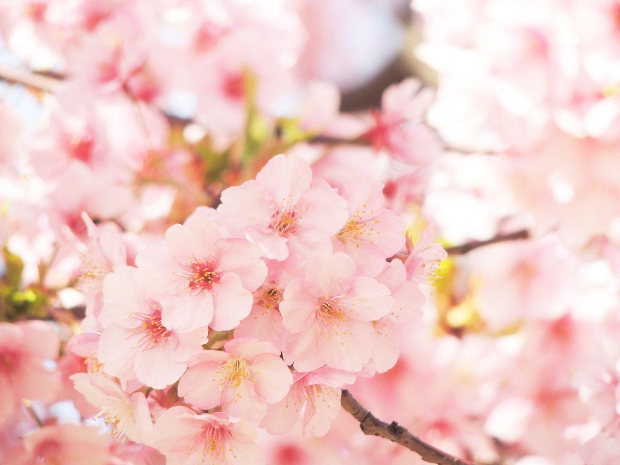 無事合格して桜咲く
