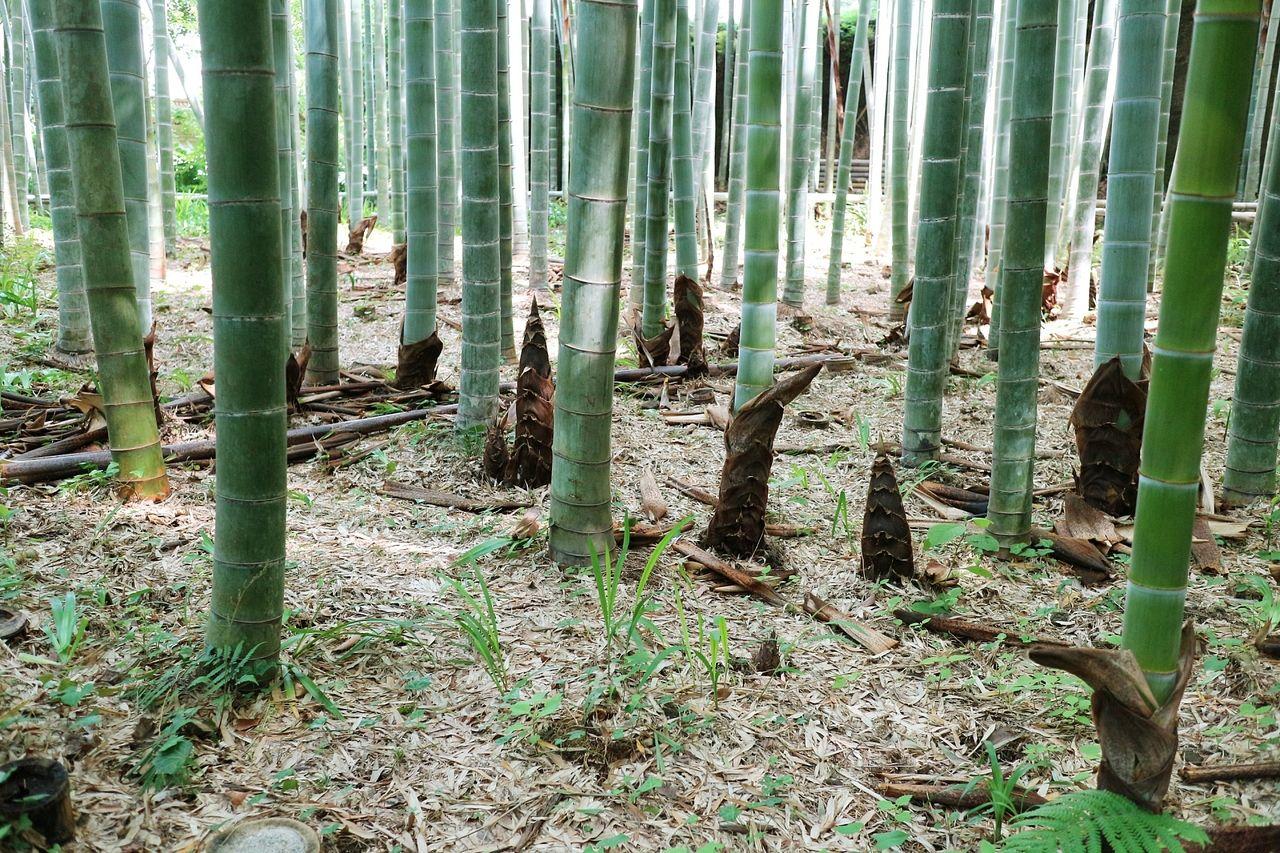 春の竹林の様子