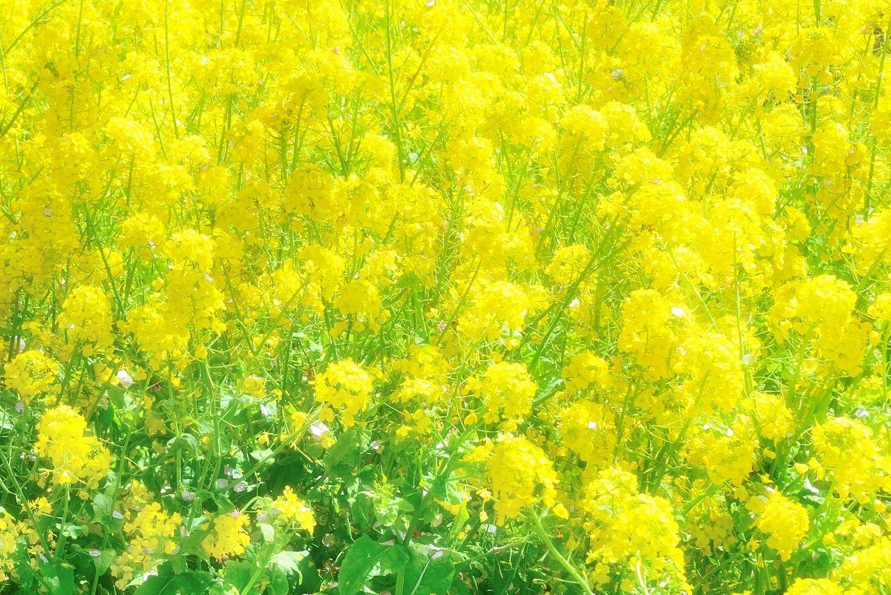 菜の花畑で春の訪れが、本多の森お花畑