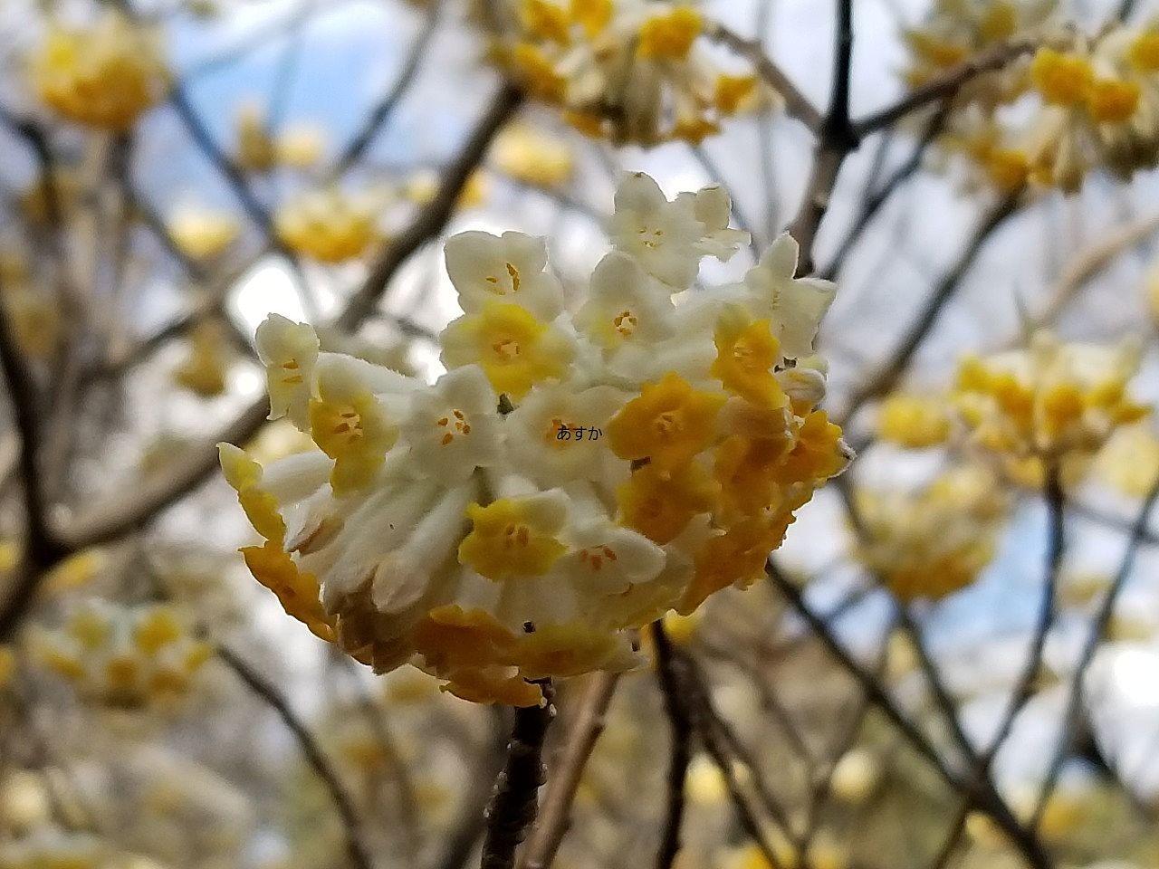 ちょっと変わった形のミツマタの花