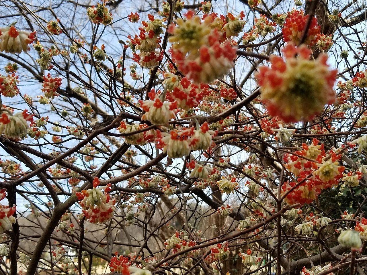 ミツマタの花でもあでやかな赤い色