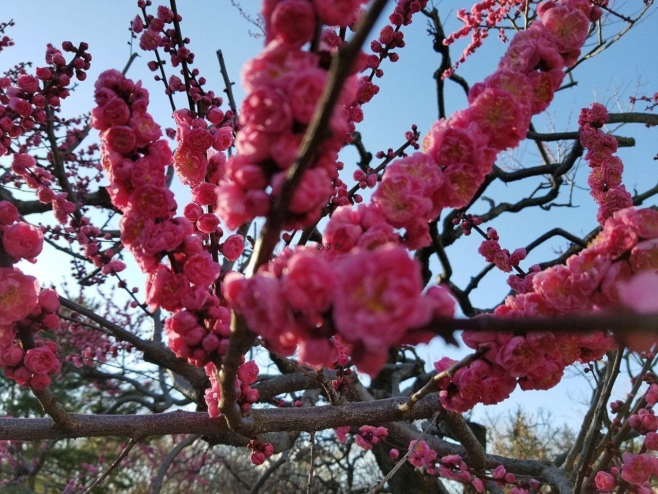 お雛様の脇にありそうな紅色の梅の花