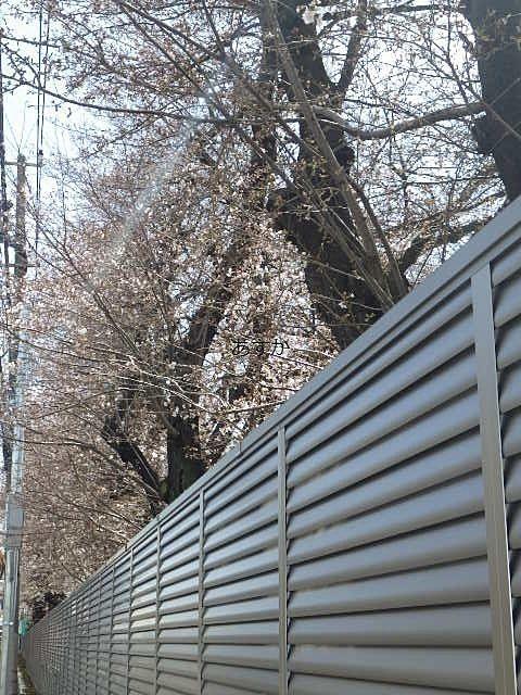 通り沿いに並ぶ桜