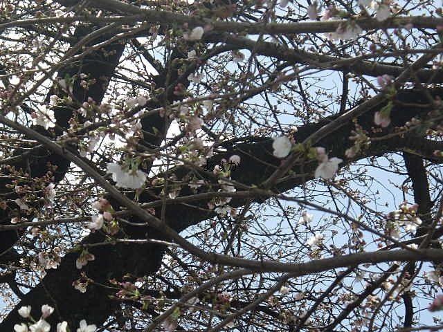 グランドの塀越しに見える桜