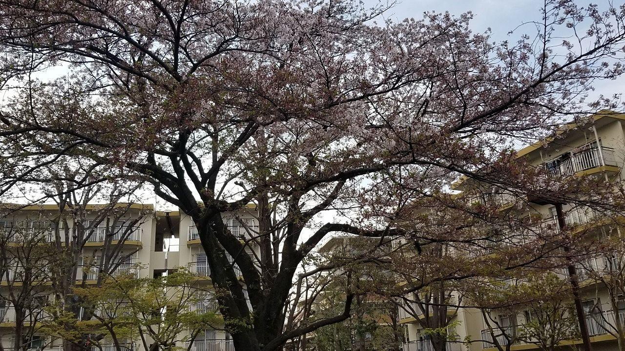 大きな桜の花びらが散っています。