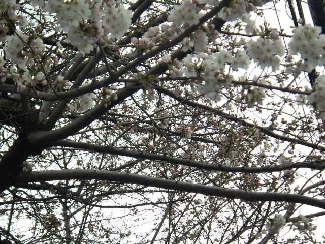 東京桜開花宣言より早めに咲き始めた桜