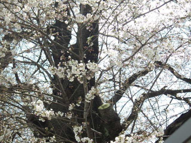 りっばな幹の桜の木