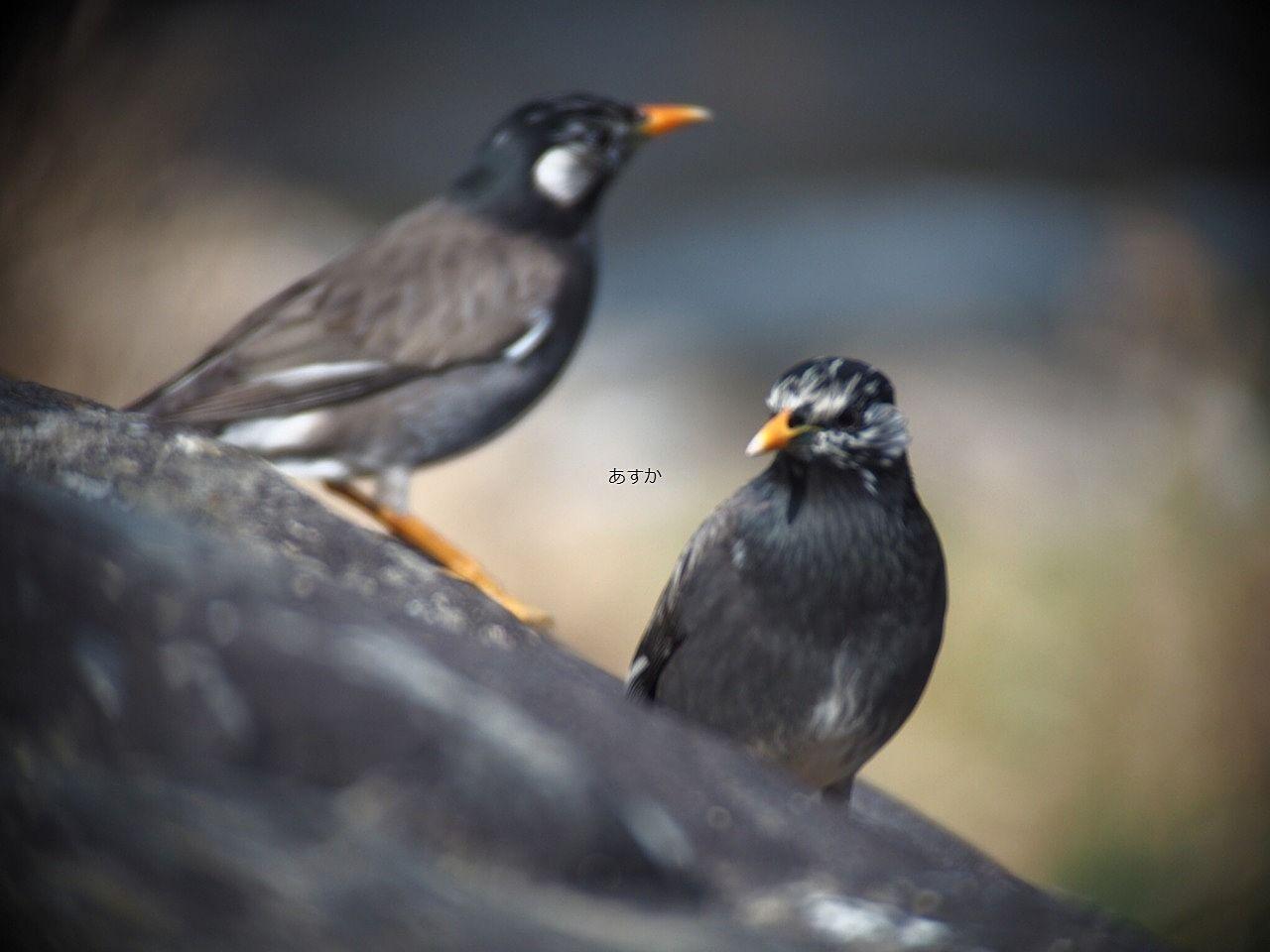ムクドリの成鳥
