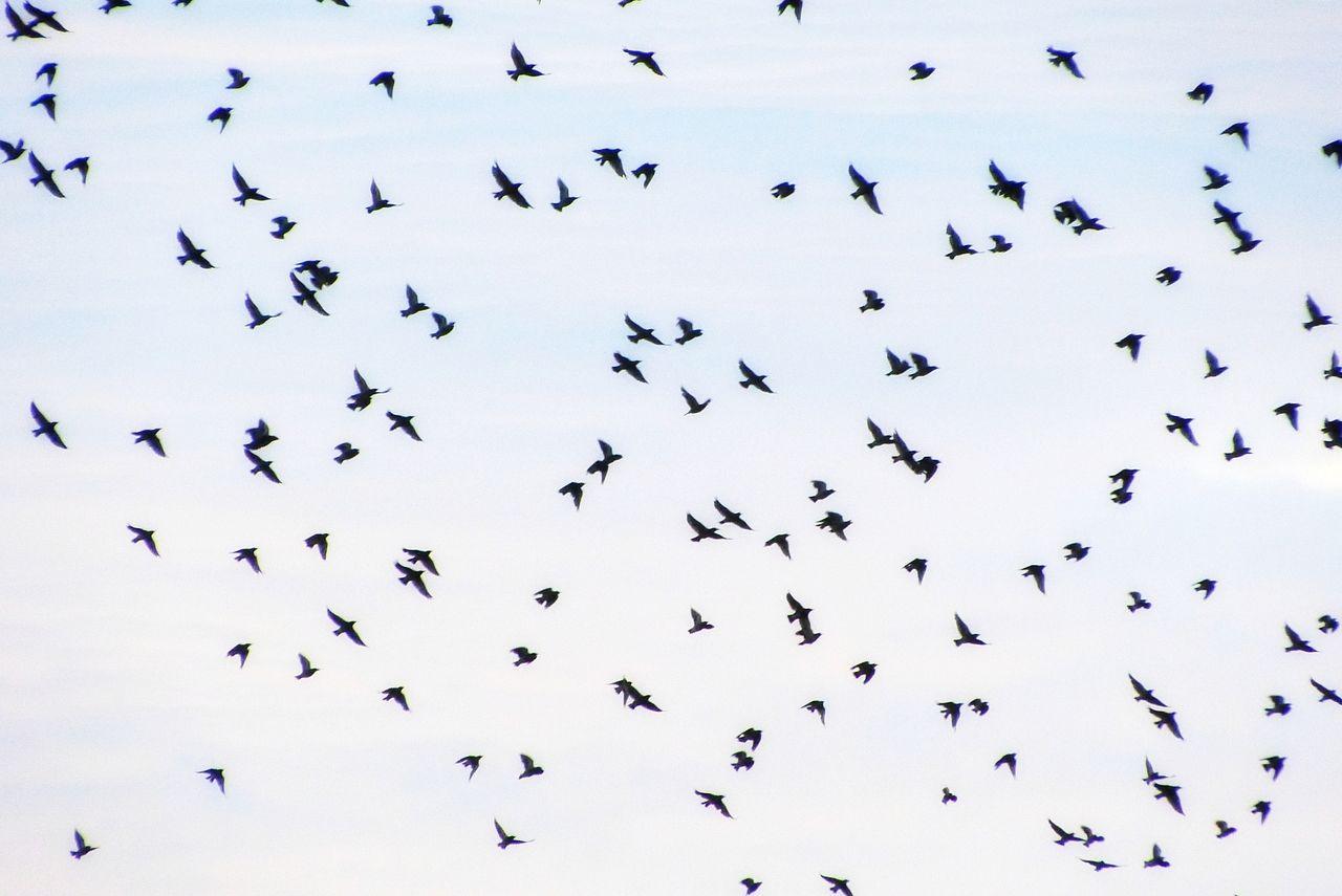 大きな群れになると空を蔽い尽くします