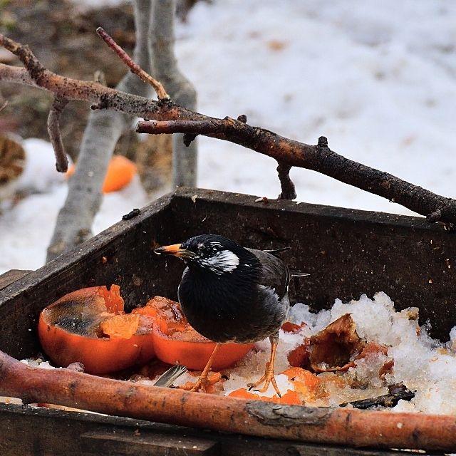 果物や虫などを食べるムクドリ
