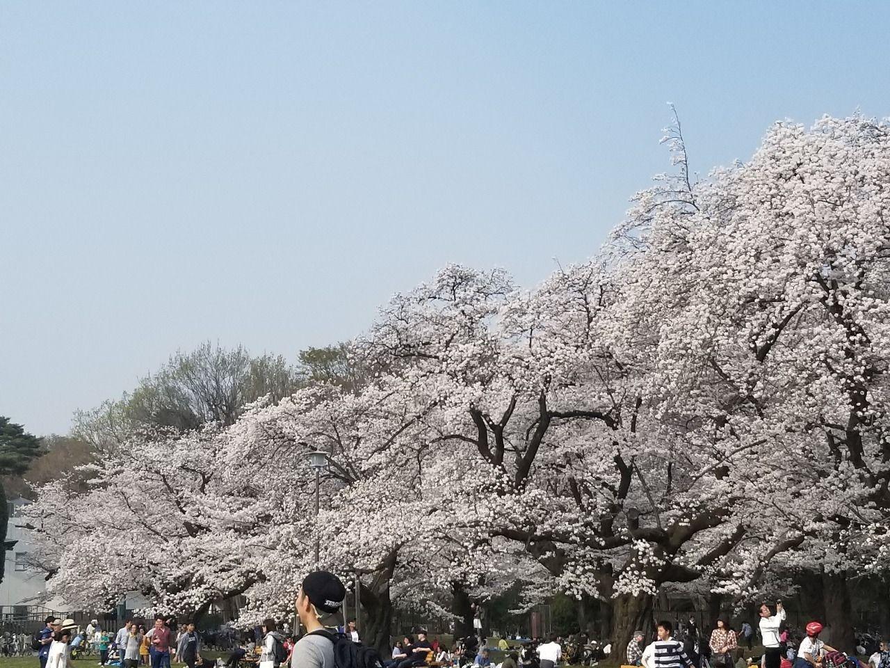 遠くまで見渡す限りの桜