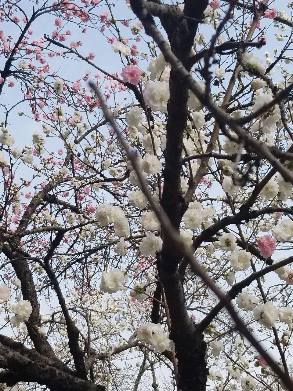 2色の花をつけるハナモモ、まだ8分咲