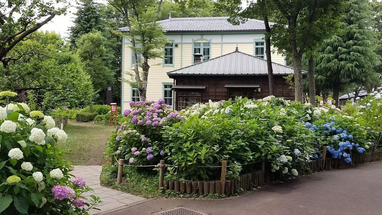旧市役所前の紫陽花
