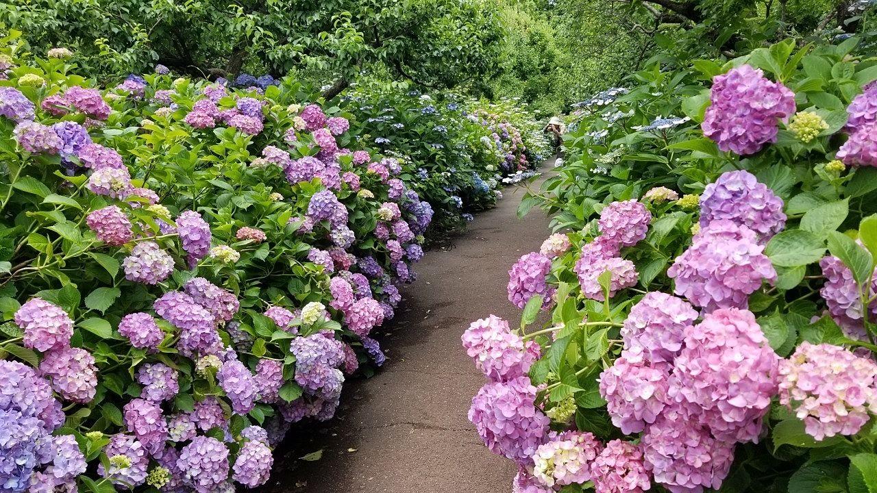 紫陽花の間を歩けます