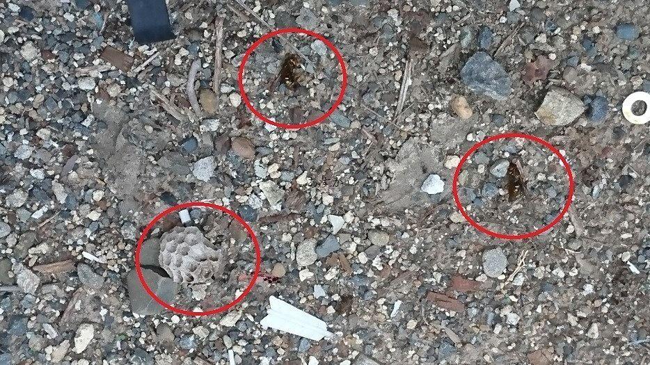 巣と一緒に落とした蜂