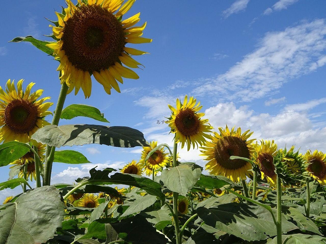 夏!清瀬で都内最大級ひまわりフェスティバル。太陽の下で広大なひまわり畑が見られます。