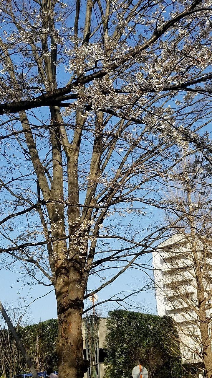 昔から団地にあった桜がいくつか残っています。