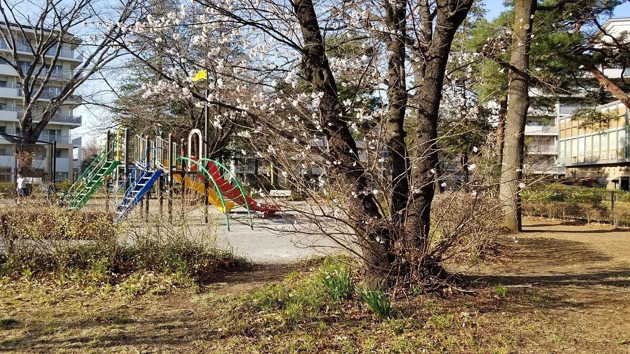 桜も大分開きだしました。