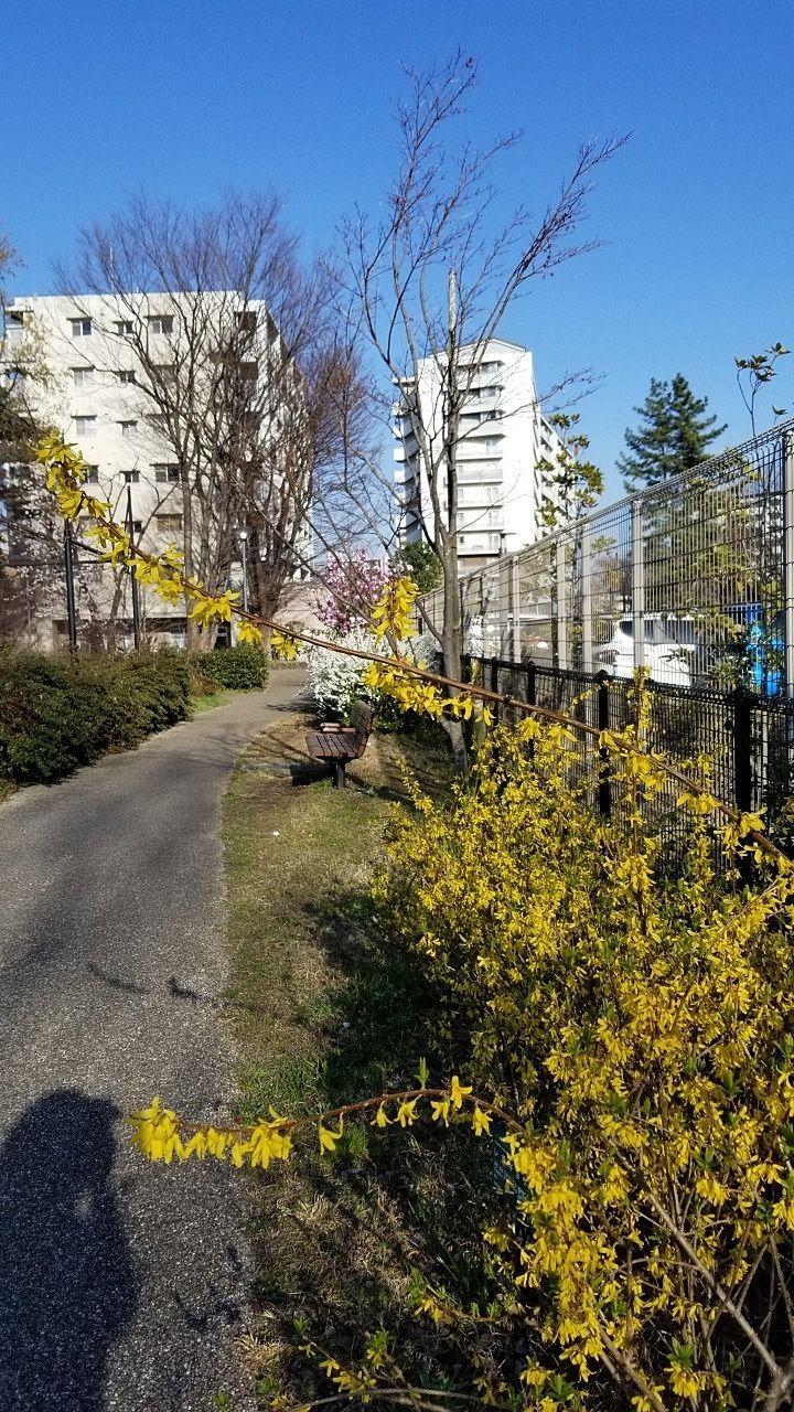 黄色のレンギョウの花も見事です。