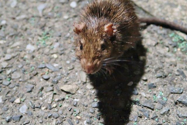 多摩地区近隣にいるネズミ
