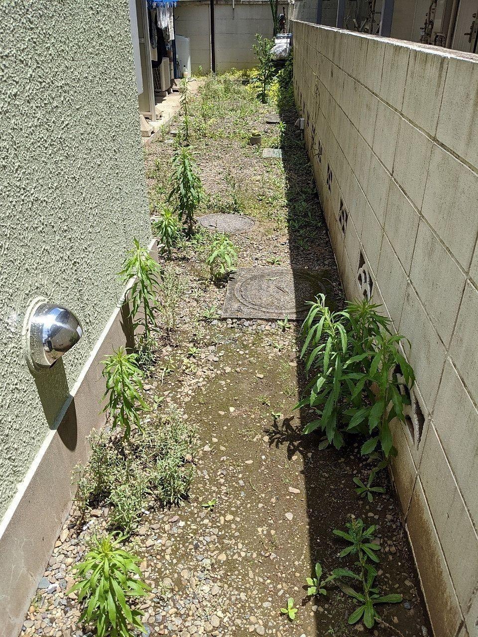 春先に除草した通路・既に雑草が