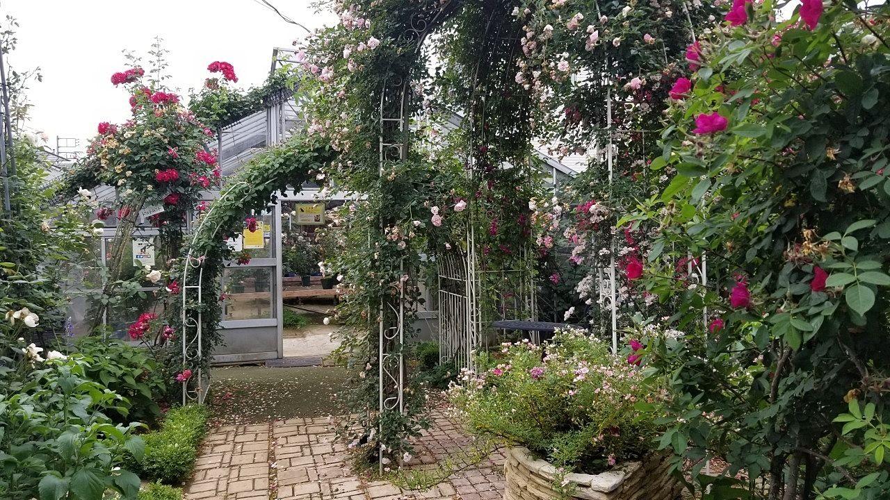 温室入口のバラのアーチ