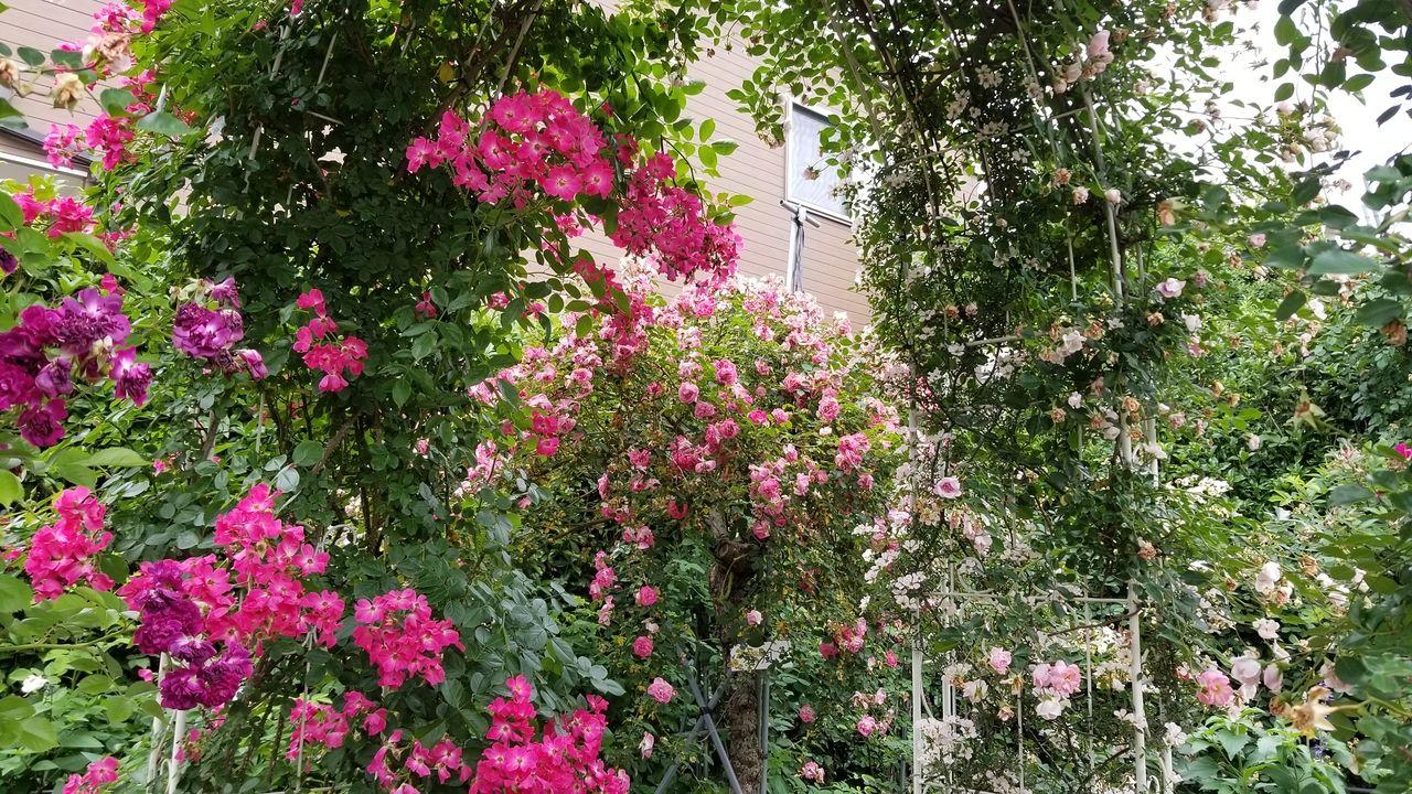 アーチをくぐるとバラの香りに包まれます。
