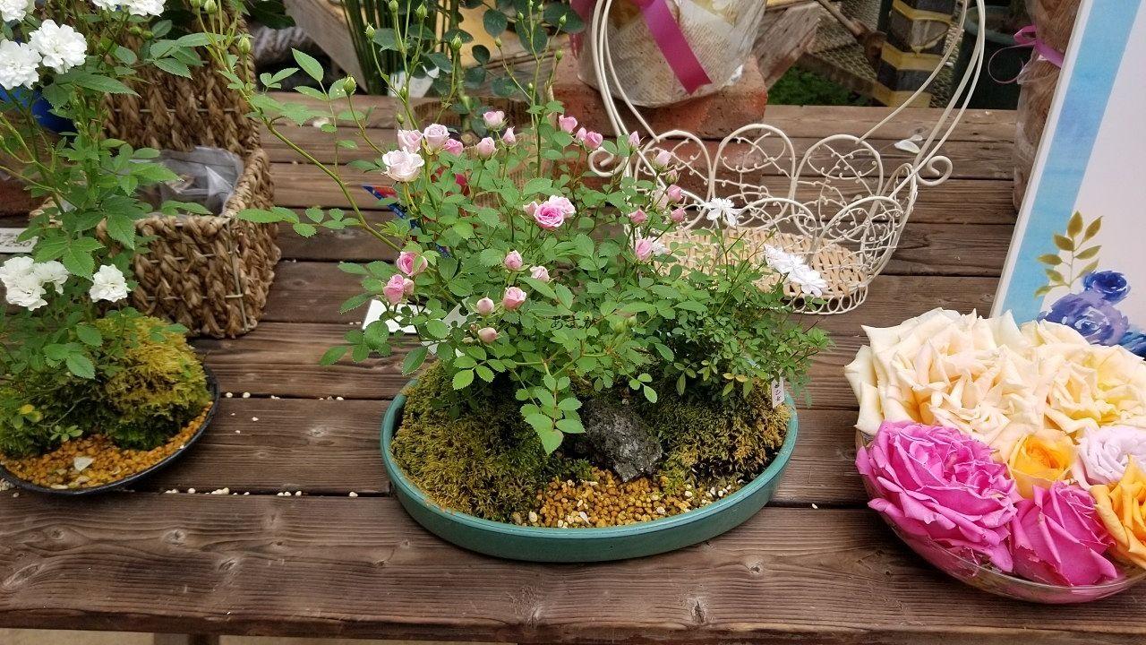 可愛いバラの盆栽は初心者にもお手頃