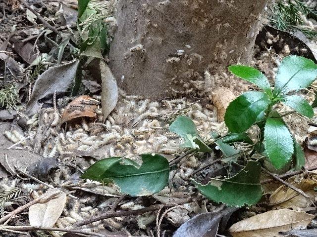 チャドクガ と言う毒蛾が大量発生。注意してください。
