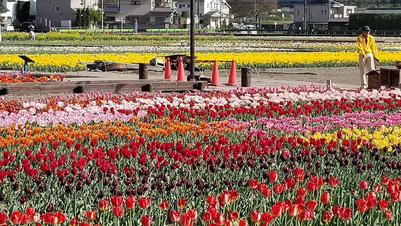 様々な種類のチューリップが咲いた畑の様子