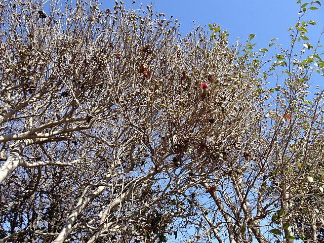 蕾が膨らんでいてる木々