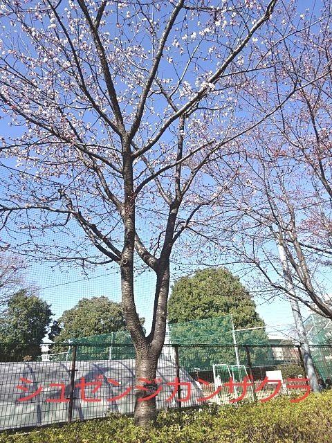 蕾のふくらんだ寒桜