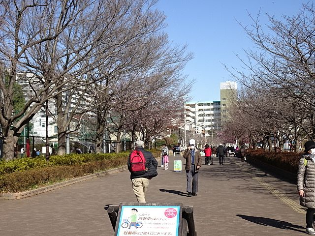 たくさんの桜が開花をまっています