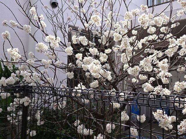 今は白梅が咲いています。