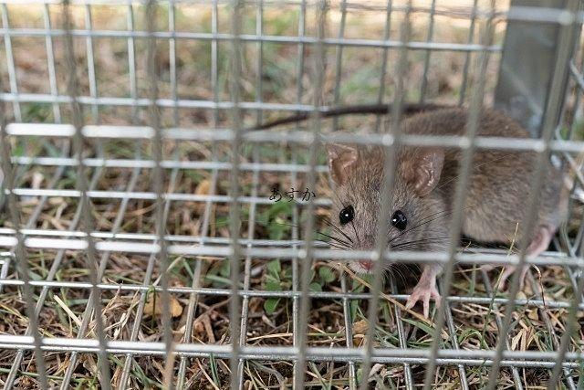 ネズミ捕りのワナ