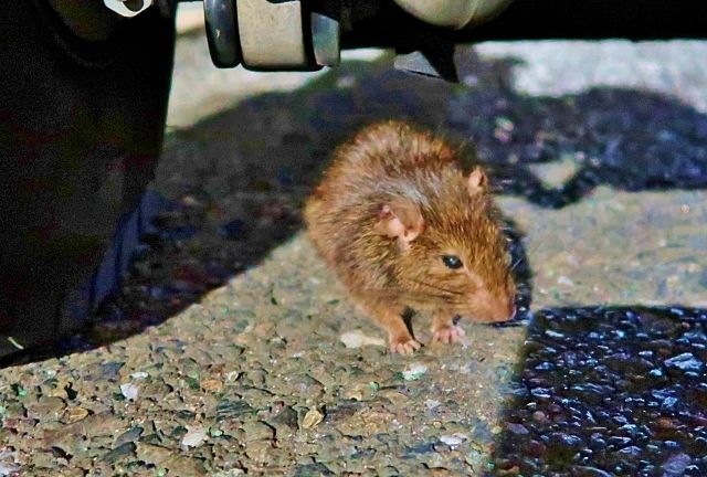 外部から侵入してくるネズミ