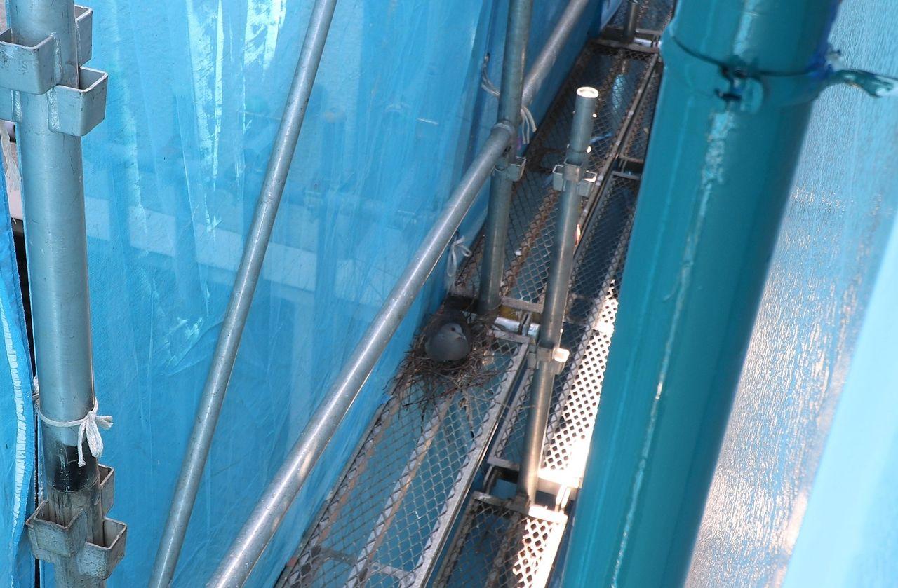工事中の足場に作った鳩の巣