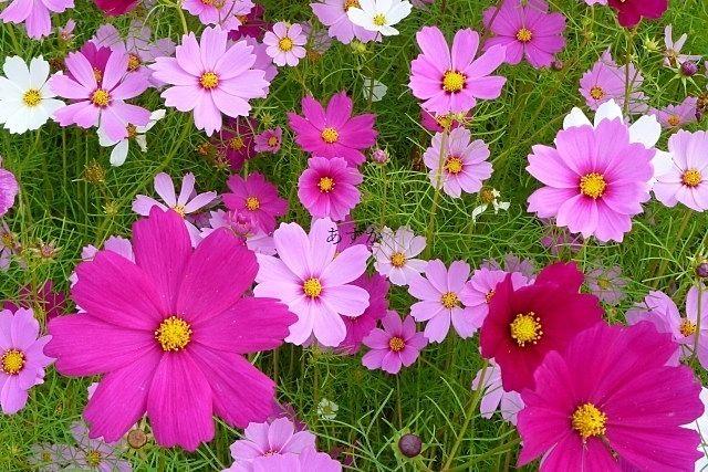 秋の象徴、コスモスの花